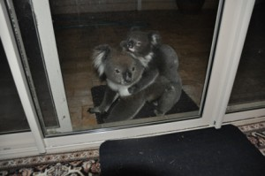 Mother Koala and baby visit my home.